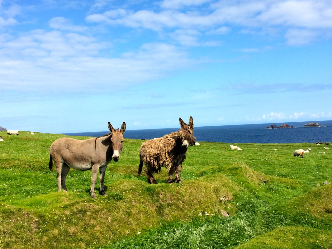 The two mules that live on Blasket Island.