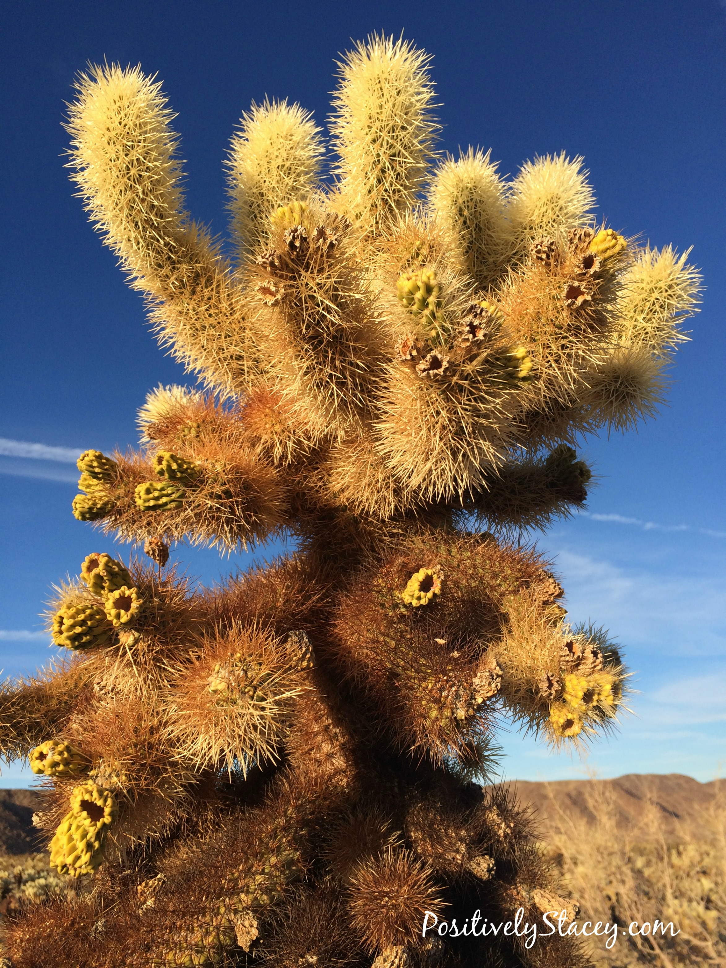 Joshua Tree National Park Cholla Cacti